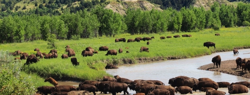 Buffalo crossing the river in Theodore Roosevelt National Park