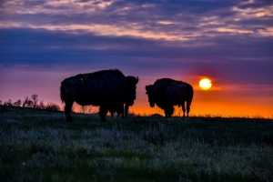 Buffalo grazing at sunset in North Dakota